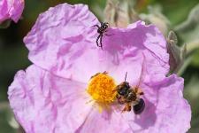 Spinne trifft Biene