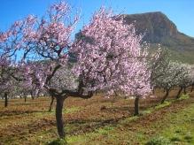Mandelblüte bei Colonia